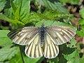 Pieris bryoniae (35516415845).jpg