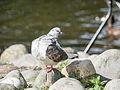 Pigeon (14379110092).jpg