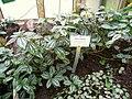 Pilea cadierei - Berlin Botanical Garden - IMG 8703.JPG