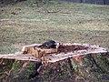 Pileated woodpecker P1300014.jpg