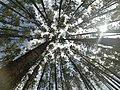 Pine trees in Ribeira de Pena.jpg