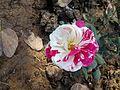 Pink nd white rose.jpg
