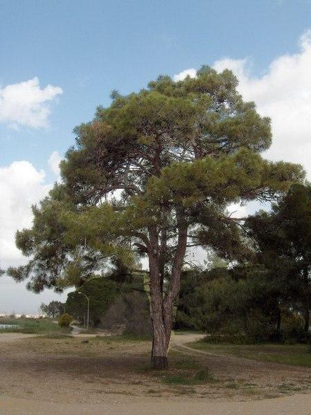Bild:Pinus brutia(02).jpg