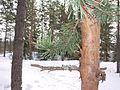 Pinus sylvestris in finland wintertime.jpg