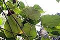 Piper auritum 24zz.jpg