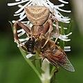 Pistius undulatus caputuring Eristalis tenax (trim).jpg