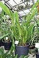 Pitcairnia atrorubens - Botanischer Garten - Heidelberg, Germany - DSC01238.jpg