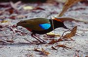 Pitta iris.jpg