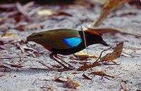 Pitta iris