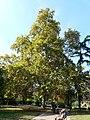 Plàtan - arbre d'interès local - Jardins de Vil·la Amèlia P1280073.jpg
