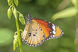 Plain tiger (Danaus chrysippus chrysippus) male underside.jpg