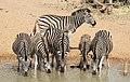 Plains zebra (common zebra or Burchell's zebra), Equus quagga, at the water hole, uMkhuze Game Reserve, kwaZulu-Natal, South Africa (15422877386).jpg