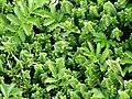 Plant Life, Portencross - geograph.org.uk - 496252.jpg