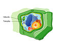 Plant cell structure svg vacuole (id).jpg