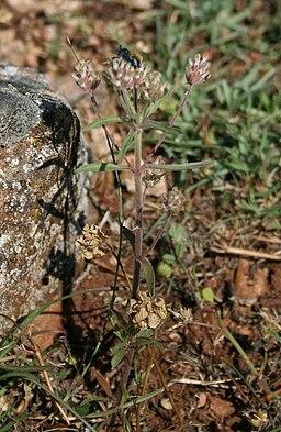 plantain psyllium sur pied