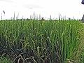 Plants de riz (Ubud) - panoramio.jpg