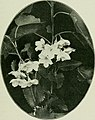 Plants of New Zealand (1906) (14781845524).jpg