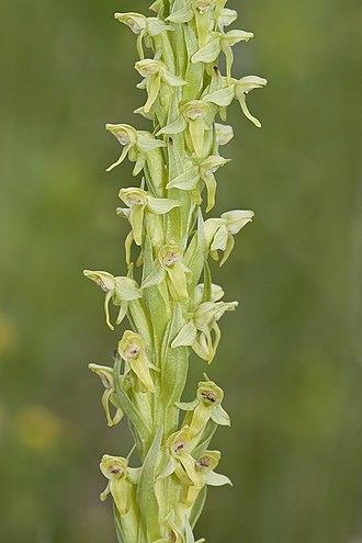 Mount Elbert - Platanthera hyperborea