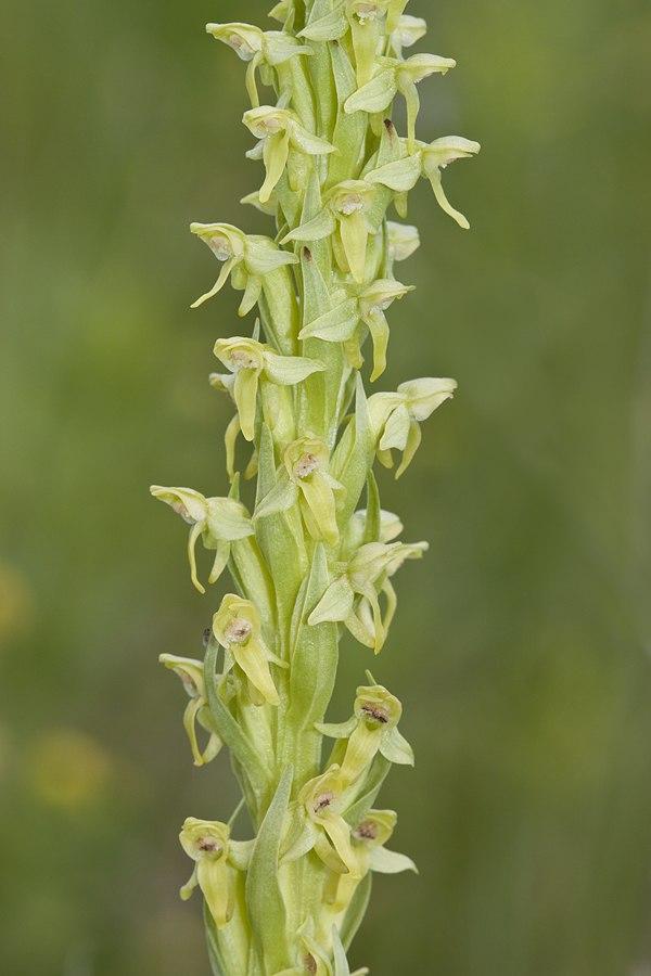 Platanthera hyperborea - Flickr 004