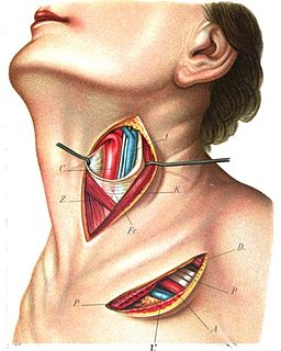 Superior thyroid artery artery