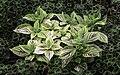 Plectranthus scutellarioides NBG LR.jpg