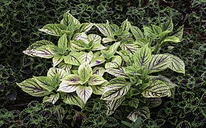 plectranthus scutellarioides wikipedia. Black Bedroom Furniture Sets. Home Design Ideas