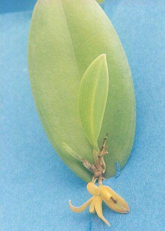 Pleurothallis - Image: Pleurothallis sp