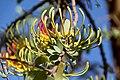 Plicosepalus sagittifolius Makueni County 7.jpg