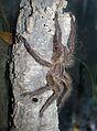 Poecilotheria ornata - male 2.jpg