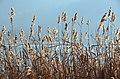 Poertschach Halbinselpromenade Phragmites australis 21122013 745.jpg
