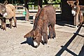 Poitou Donkey 2860.jpg
