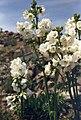 Polemonium caeruleum ssp laxiflorum.jpg