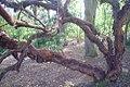 Polylepis australis at Dundee Botanic Garden 3.jpg