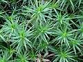 Polytrichum formosum 110859527.jpg