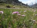 Primula farinosa 2 - Névache.jpg