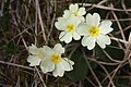 Primula vulgaris, Skye - img 25221.jpg