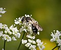 Probably Andrena alutacea, an oligolectic on Apiacae- bees that exhibit a narrow, specialized preference for pollen sources (45695971361).jpg