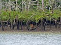 Proboscis Monkey (Nasalis larvatus) male eating mangrove (Sonneratia sp.) leaves (15663907478).jpg