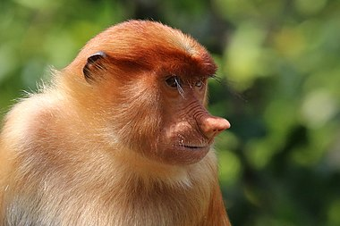Female proboscis monkey on Borneo