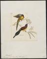 Promerops gouldiae - 1820-1860 - Print - Iconographia Zoologica - Special Collections University of Amsterdam - UBA01 IZ19000319.tif
