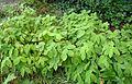Prosartes maculata kz1.jpg