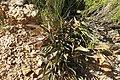 Protea tenax mr fab iNat10961290b.jpg