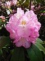 Pruhonice Dendrologicka zahrada rododendron.jpg