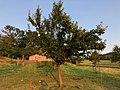 Prunus domestica subsp. italica 'Ontario'.jpg