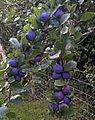 Prunus domestica subsp insititia.jpg