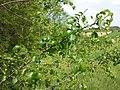 Prunus mahaleb sl19.jpg