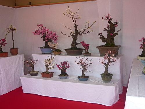 Prunus mume G02