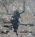 Pseudectatomma striatula SMFMEI8153.jpg