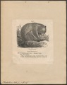 Pterodicticus potto - 1700-1880 - Print - Iconographia Zoologica - Special Collections University of Amsterdam - UBA01 IZ19700183.tif