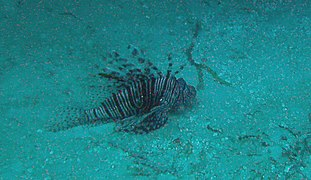 Pterois volitans - red lionfish - Bay of Pigs - Cuba.jpg